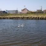 斜里川の白鳥