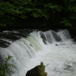さくらの滝のサクラマス