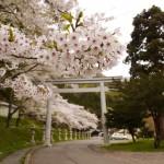 こんなにきれいな桜並木があると知らなかった函館八幡宮