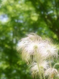 ふわふわの花・・・